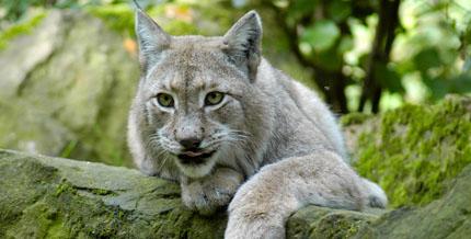 Der Luchs gilt als Attraktion im Wildpark.
